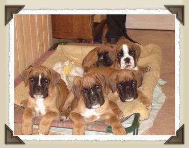 Accueil elevage de la tribu de heep eleveur de chiens for Boxer jardin de passiflore