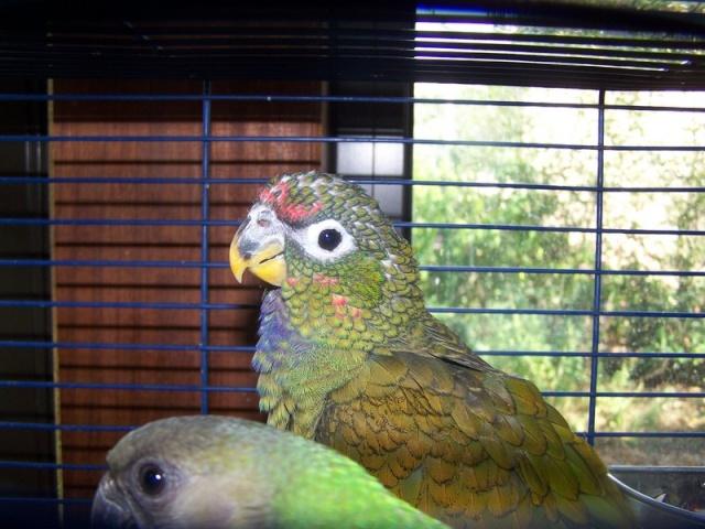 Oiseaux domestiques silencieux for Oiseau domestique interieur