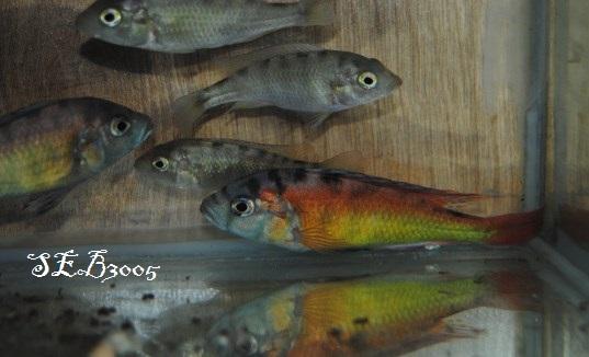 Haplochromis sp tomato haplochromis sp 35 for Bac a poisson 500l
