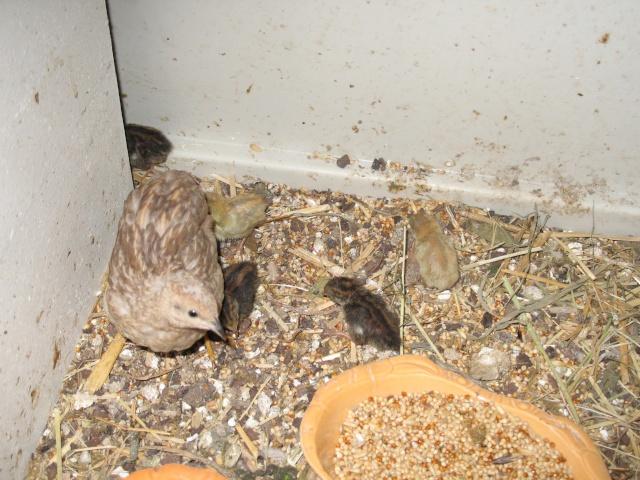 Afficher le sujet habitat cailles de chine for Forum habitat plus