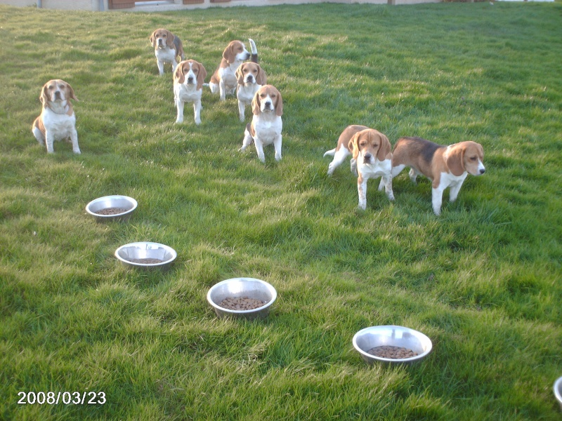 Chien-courant.com • Consulter le sujet - Beagle, Beagle
