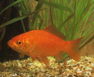Sa voir comen recom tre un koi ou un poisson rouge for Koi ou poisson rouge