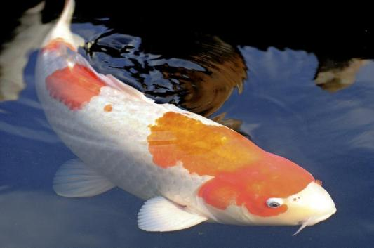 Sa voir comen recom tre un koi ou un poisson rouge for Poisson carpe koi prix