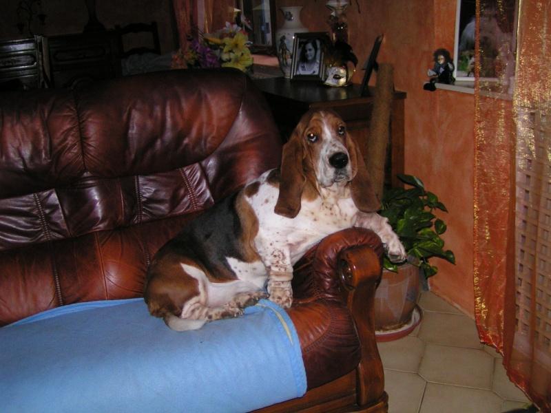 Pin basset hound griffon petite collector plate 7442 77 95 on pinterest - Petit basset hound angers ...