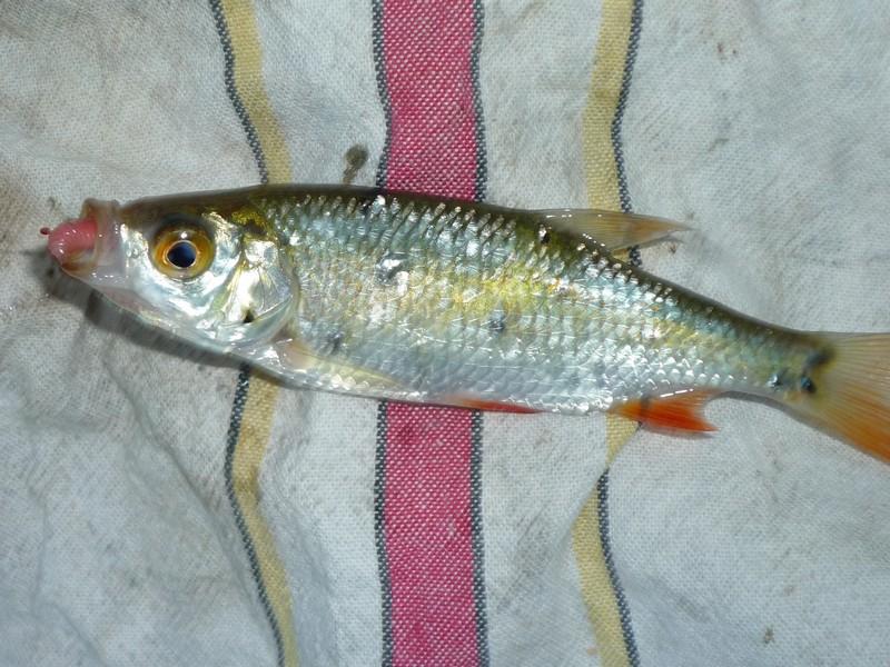 Identification poisson eau douce et maladies sur gardons for Poisson tropicaux eau douce