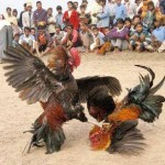 Adu Ayam Cockfighting