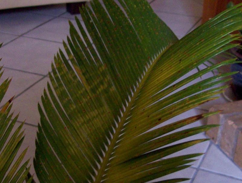 Cycas en bonne sant mais palmes jaunes - Palmier hawaien feuilles jaunes ...