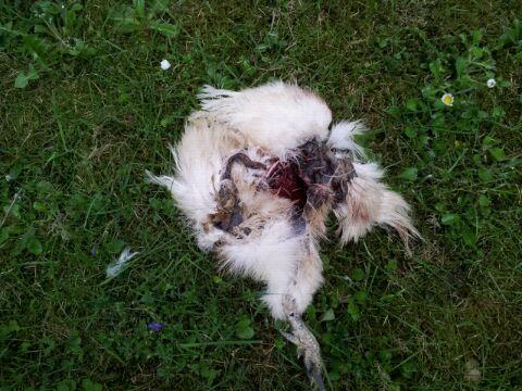 Disparition d une poule for Poule soie blanche prix