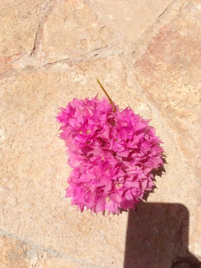 Shohin di bouganvillea cherry blossom forum di for Bouganville fioritura