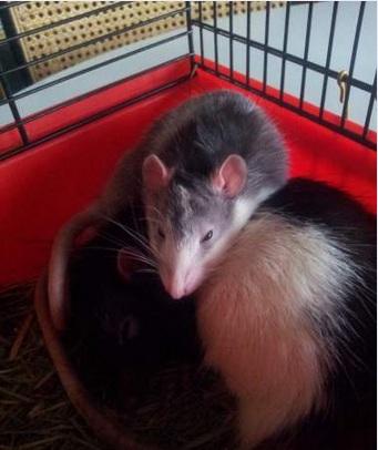 rats10.jpg